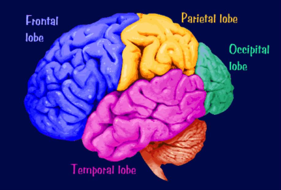 Description: http://morphonix.com/software/education/science/brain/game/specimens/images/cerebral_cortex_lobes.gif